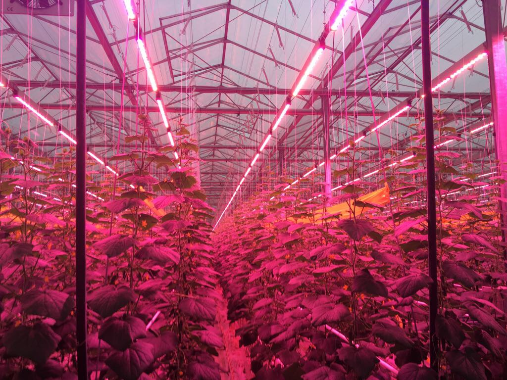 First-ever LED-lit snack cucumbers grown by Kwekerij Verhoeven