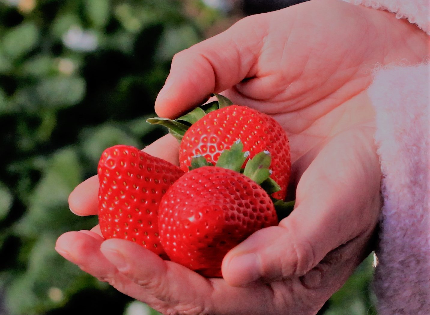 Start importseizoen Sweet and Sunny aardbeien tijdens Aardbeiendag 2019