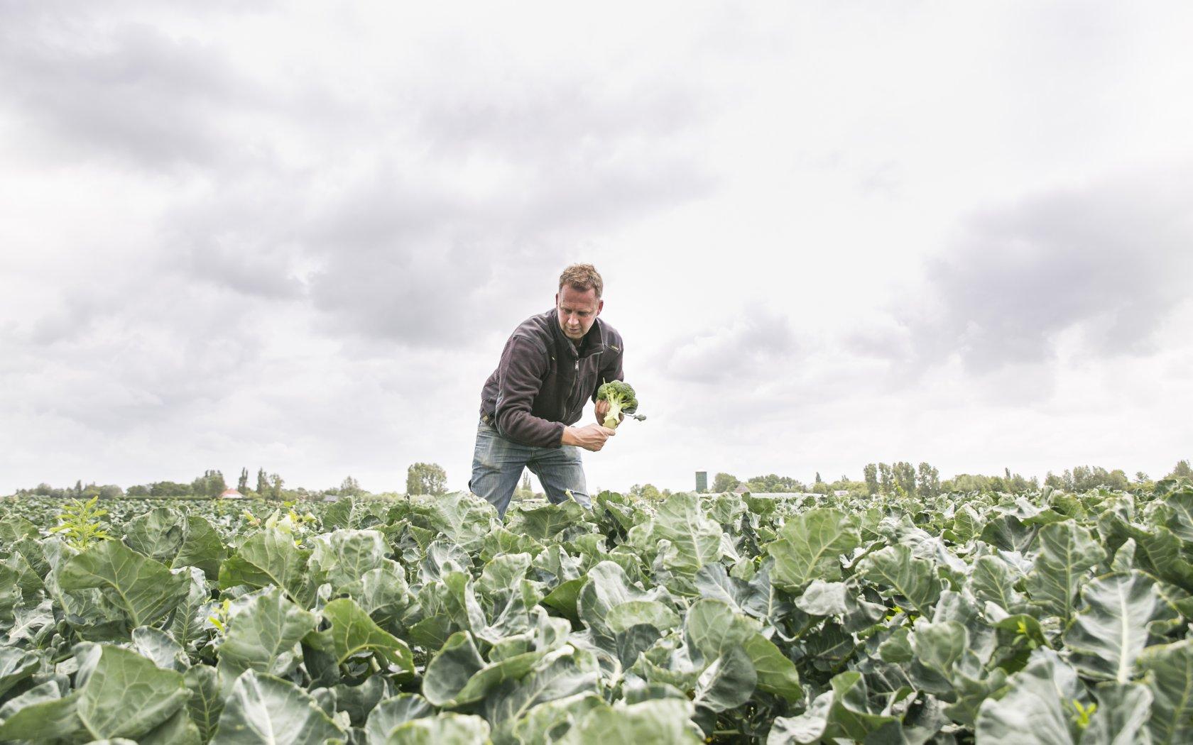 Eerste Nederlandse broccoli geoogst