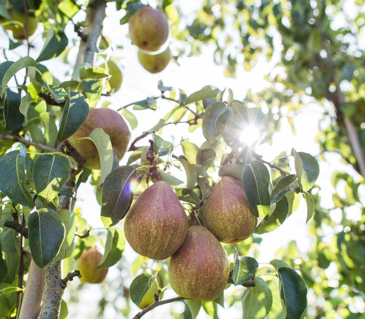 Hardfruit