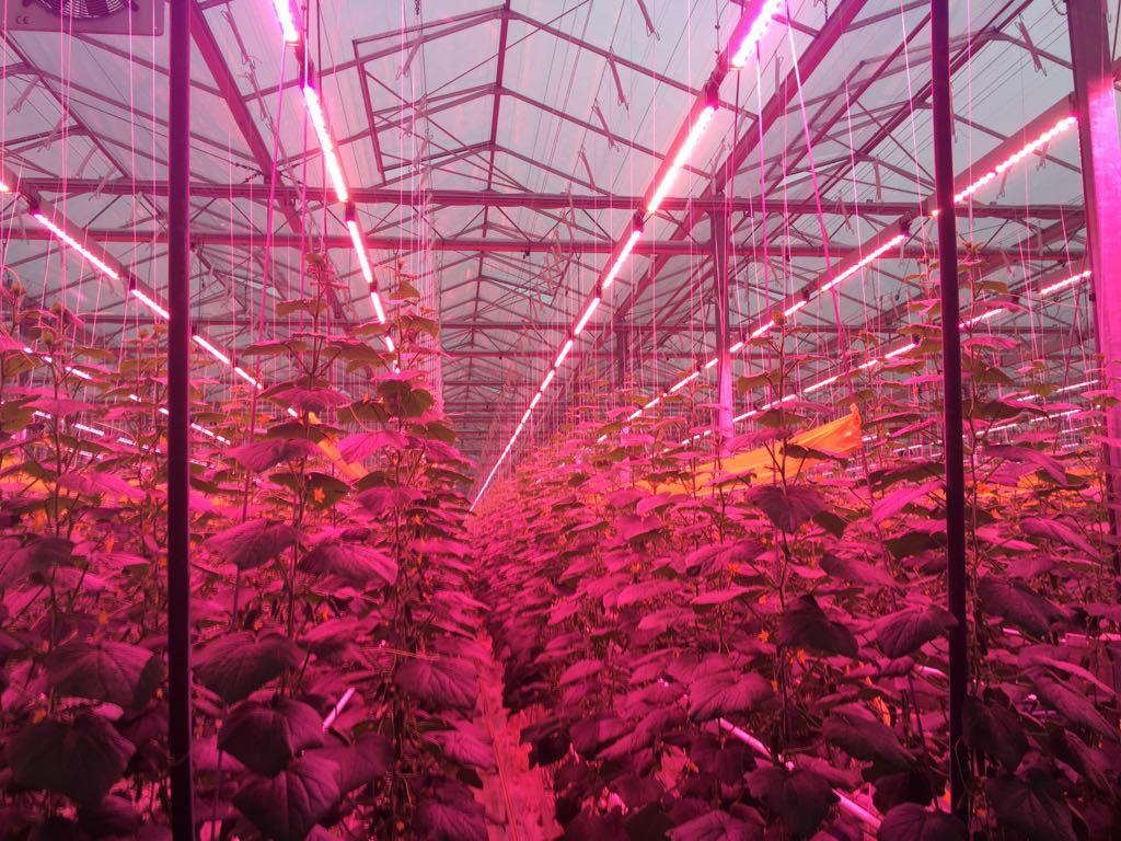 Allereerste LED-belichte snackkomkommers geteeld bij Kwekerij Verhoeven