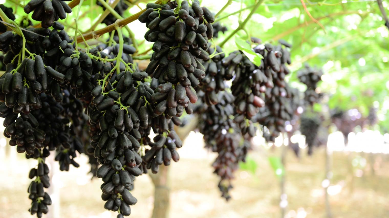 Italiaanse druivenseizoen van start bij The Greenery